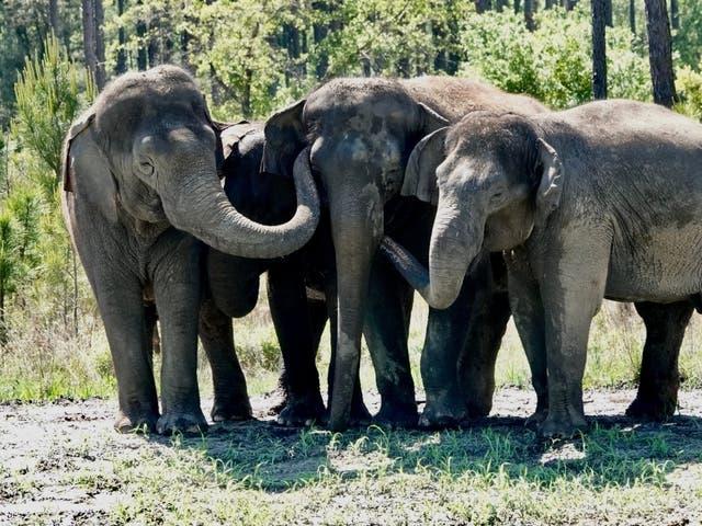Karmic Payback For Retired Circus Elephants Loving Florida Life